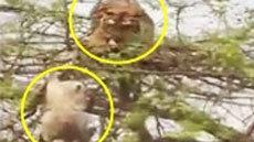 เมื่อ เสือปีนขึ้นไปกินลิงบนต้นไม้ จะสำเร็จมั้ย !! มาดูกัน